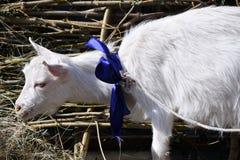 White goat on the farm Royalty Free Stock Photo