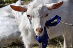 White goat on the farm Stock Image