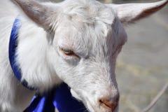 White goat on the farm Stock Photo
