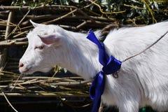 White goat on the farm Stock Photos