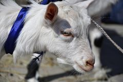 White goat on the farm Royalty Free Stock Images
