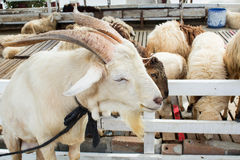 White goat farm Stock Photo