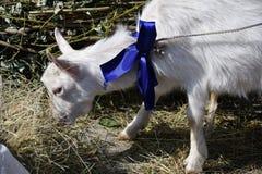 White goat on the farm Royalty Free Stock Photos