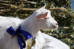 White goat on the farm Royalty Free Stock Photography