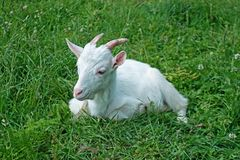 White goat. On the field in the village stock images