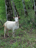 White goat in the forest among green trees. White goat grazing in the forest on the grass among green trees Stock Photos