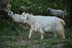 White Goat In the Forest Of H.P India