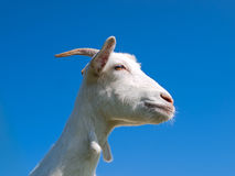 A white goat. On grass background. Symbol of 2015 New Year royalty free stock image