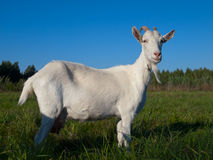 A white goat Stock Images