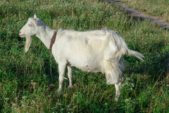 White goat is at grass on village field Stock Photo