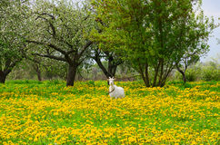 White goat is grazed among flowering dandelions in apple orchard. White goat is grazed among flowering dandelions in the apple garden Stock Photo