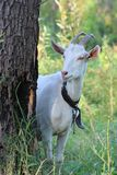 A white goat Royalty Free Stock Photography