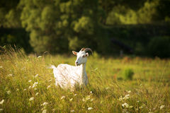 White goat grazes on green meadow Royalty Free Stock Photo