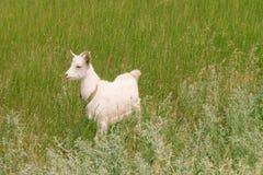 White goat grazes on the meadow Royalty Free Stock Photos