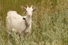 White goat grazes on the meadow Stock Photos