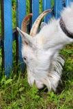 White goat grazing close-up Stock Image