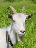 White goat grazing close-up Stock Photography