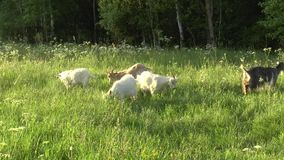 White goat grazing in the field. Little goat on the chain.Mother goat with goat, two goats. White goat grazing in the field. Little goat on the chain.Mother stock video