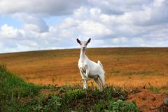 A white goat in the field stock image