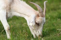 White goat grazing Stock Images