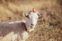 White goat in a field, close-up royalty free stock photos