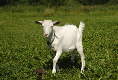White goat grazing on green grass Royalty Free Stock Image