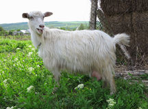 White goat grazing on a green meadow on sunny day Stock Photography
