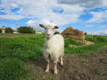 White goat grazing on a green meadow on sunny day Royalty Free Stock Photography