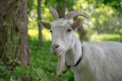White goat grazing in a green oasis. close-up portrait.  Stock Images