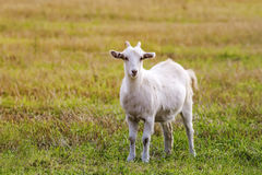 White goat grazing on a meadow Stock Photo