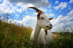 White goat grazing on the meadow. royalty free stock photo