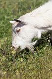 White goat grazing on the meadow Stock Image