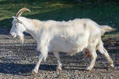 white goat grazing Stock Image