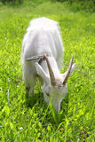 White goat grazing on the meadow Royalty Free Stock Photo