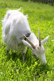 White goat grazing on the meadow Royalty Free Stock Image