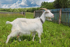 White goat grazing Stock Photography