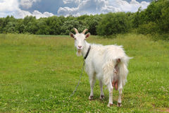 White goat grazing. On the meadow in sunny day Royalty Free Stock Photo