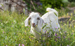 White goat on green grass, . Royalty Free Stock Images