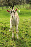 White goat in the green grass Royalty Free Stock Photo
