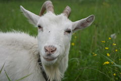 White goat on a green meadow Royalty Free Stock Image