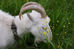 White goat on a green meadow Stock Images