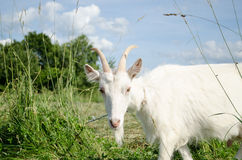 White goat in green meadow pasture Stock Images