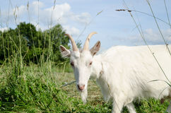White goat in green meadow pasture Stock Photos