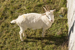 White goat on green winter grass, Crodo, Ossola Royalty Free Stock Images