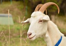 White goat. A white haired goat on a farm stock image