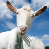 White goat head against blue sky. In dutch meadow in the netherlands Royalty Free Stock Images