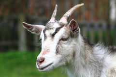 White goat head. As nice portrait of farm animal Stock Images