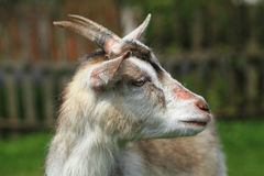 White goat head. As nice portrait of farm animal Royalty Free Stock Photos