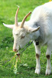 White goat head. As nice portrait of farm animal Royalty Free Stock Photography