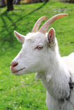 White goat head. As nice portrait of farm animal Stock Photography